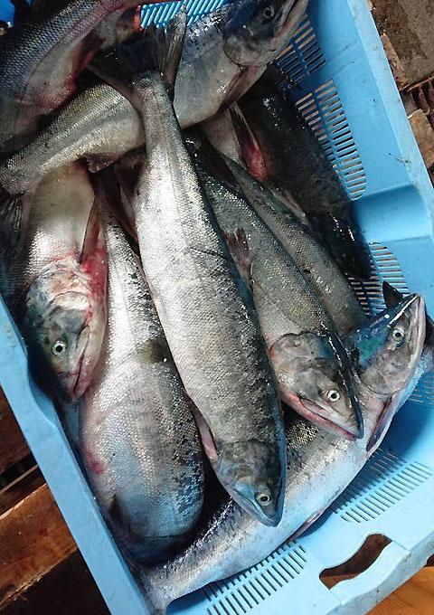 礼文島産の秋鮭です
