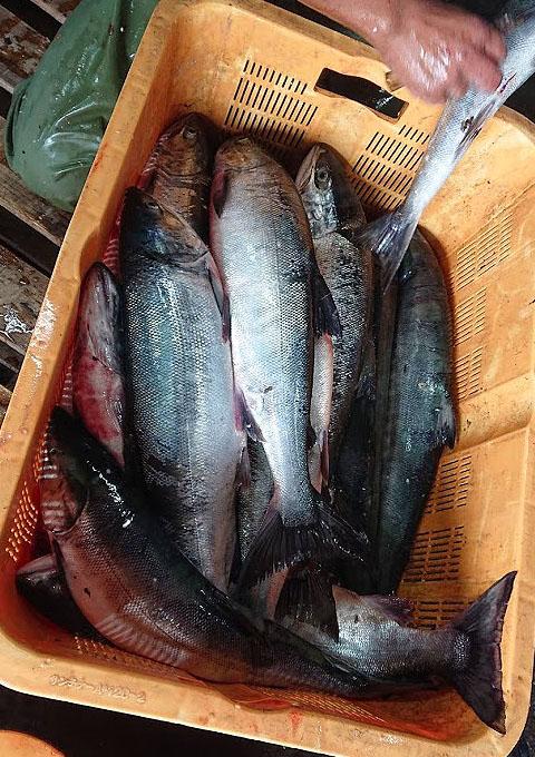 礼文島秋鮭